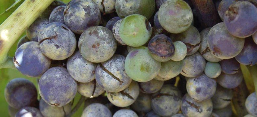 Grappolo d'uva colpito da oidio