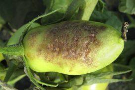 Gravi sintomi di peronospora su buccia di pomodoro