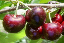 Ciliegie varietà Sweet Aryana