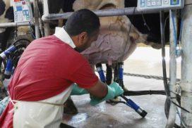 mungitura di una vacca da latte