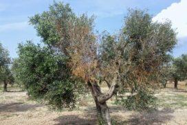 Olivo colpito da xylella