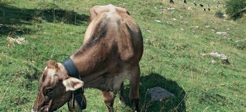 Vacca al pascolo