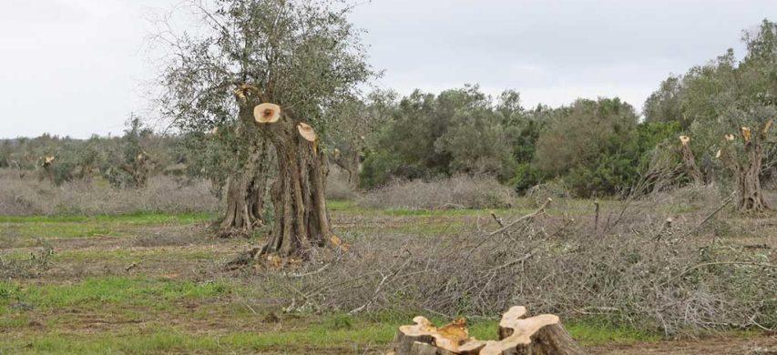 xylella olivi tagliati