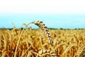 Spighe di grano tenero in maturazione