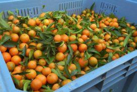 cassa di clementine