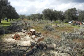 olivi tagliati colpiti da Xylella