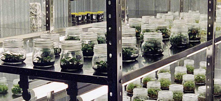 piante in laboratorio di miglioramento genetico