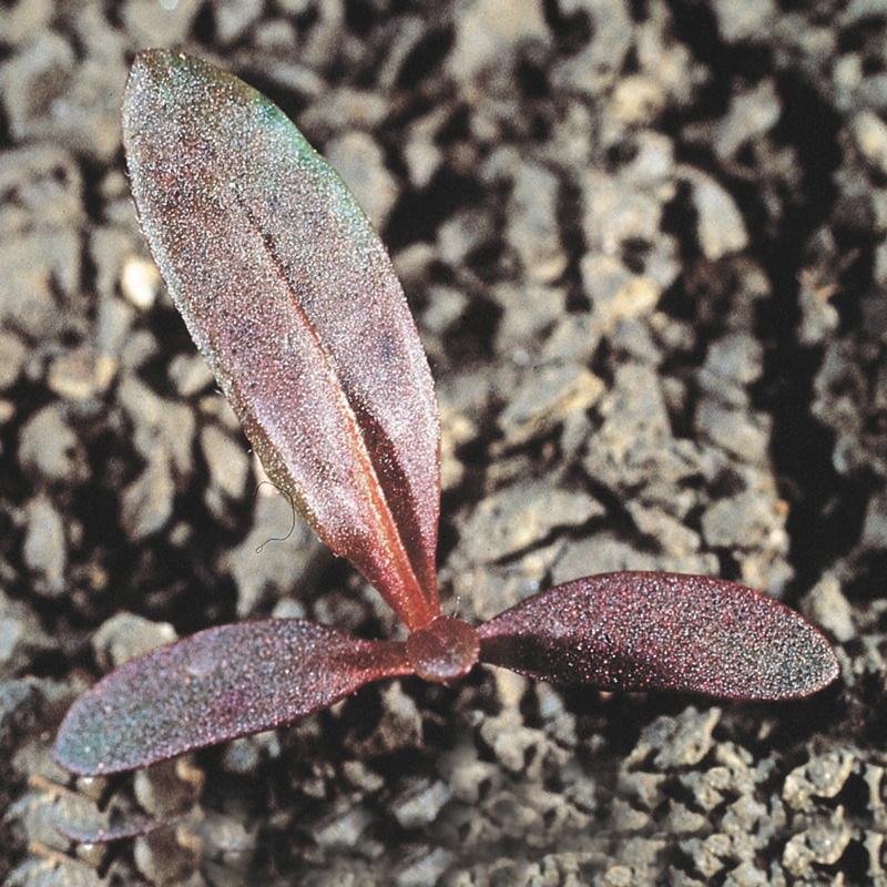 Persicaria - Polygonum persicaria