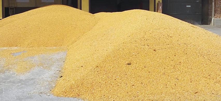 granella di mais ibrido SY Brabus