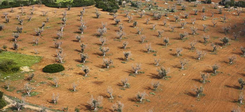 olivi colpiti da xylella