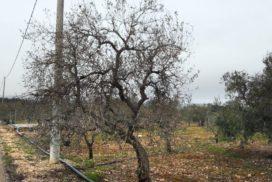 olivo danneggiato dal gelo
