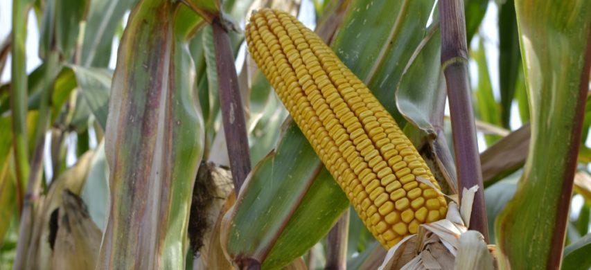 pannocchia di mais in maturazione