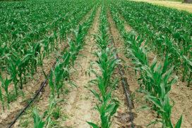 mais microirrigazione