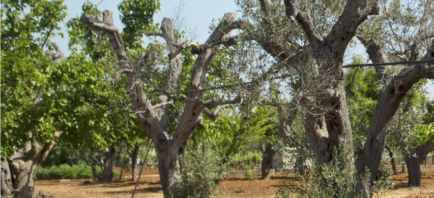 olivi xylella