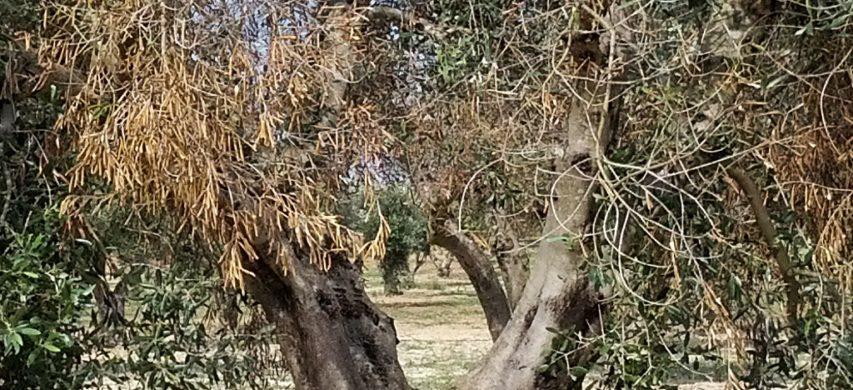 olivo con xylella