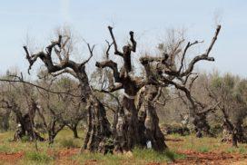 olivo xylella