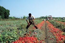 operaio raccolta pomodoro