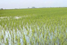 risaia allagata