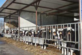 vitelli mangiatoia