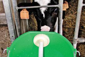 vitello succhia latte