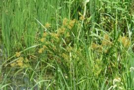 Cyperus esculentus infestante riso