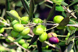 olive ogliarola