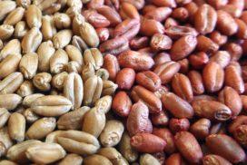 semi di frumento conciati e non