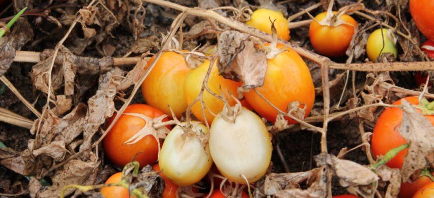 Gravi danni da ragnetto rosso su pomodoro da industria