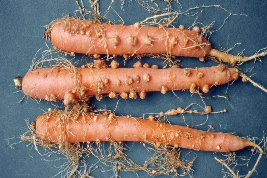 Nematodi galligeni danni su carota