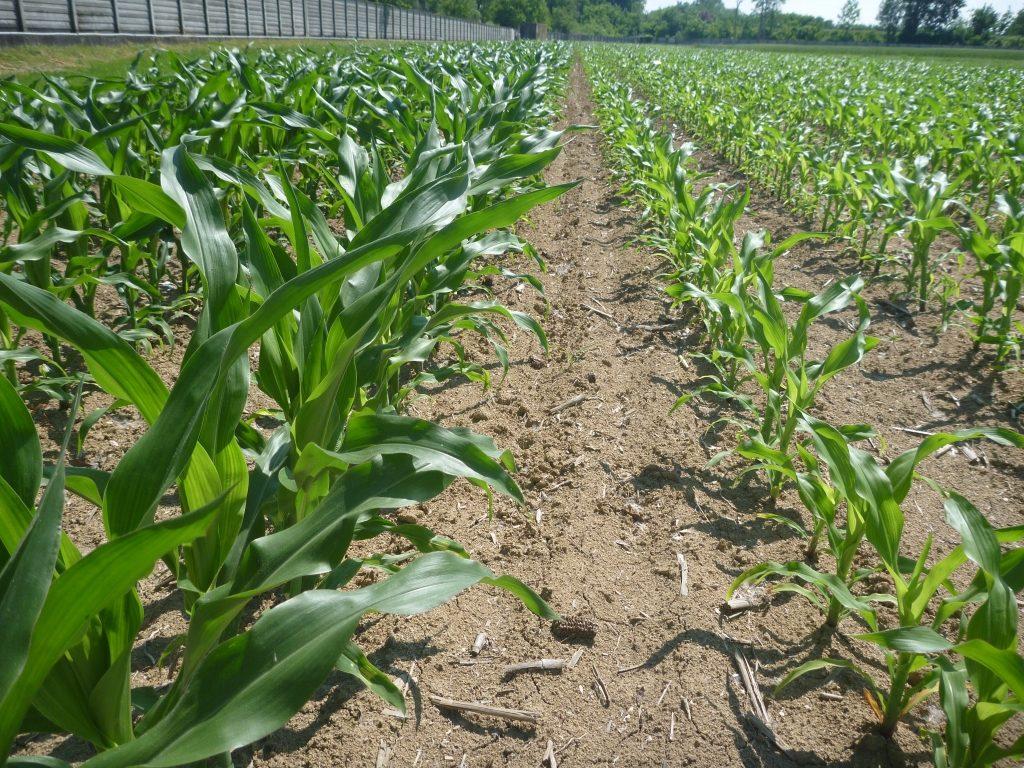 Vigore del mais in levata con concimazione in banda (a sinistra) rispetto al testimone (a destra)