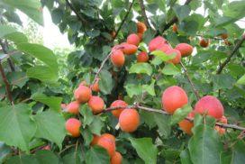 albicocco varietà farbela