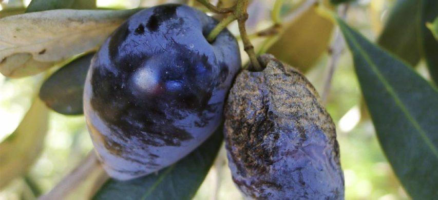 lebbra dell'olivo
