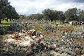 olivi abbattuti