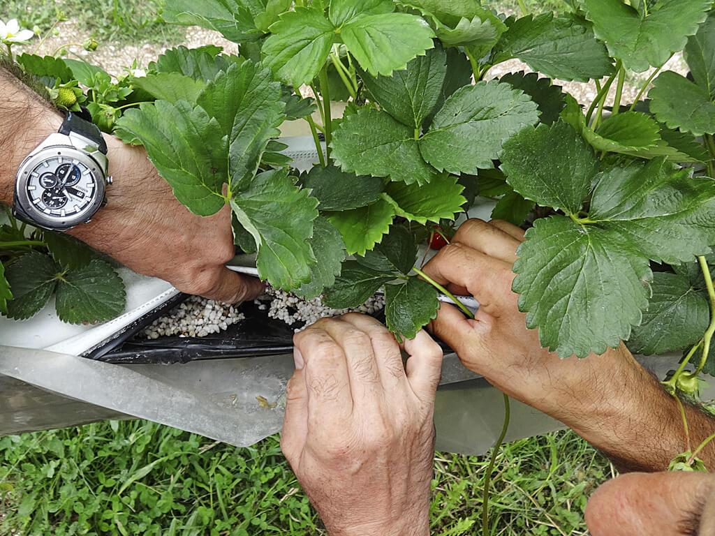 sistema NGS per fragole fuori suolo