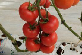 Pomodoro in coltura protetta fertirrigazione