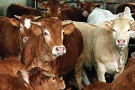 bovini da carne