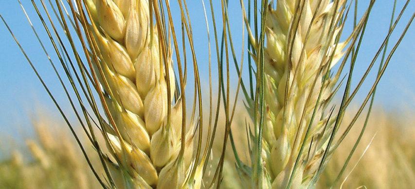 grano duro svevo