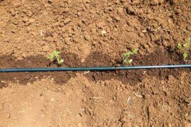 manichetta fertirrigazione pomodoro