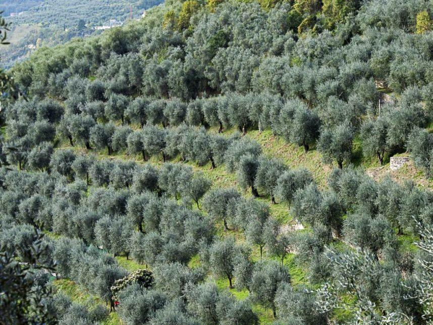 olivi gardaa