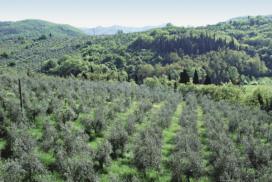 oliveti collina