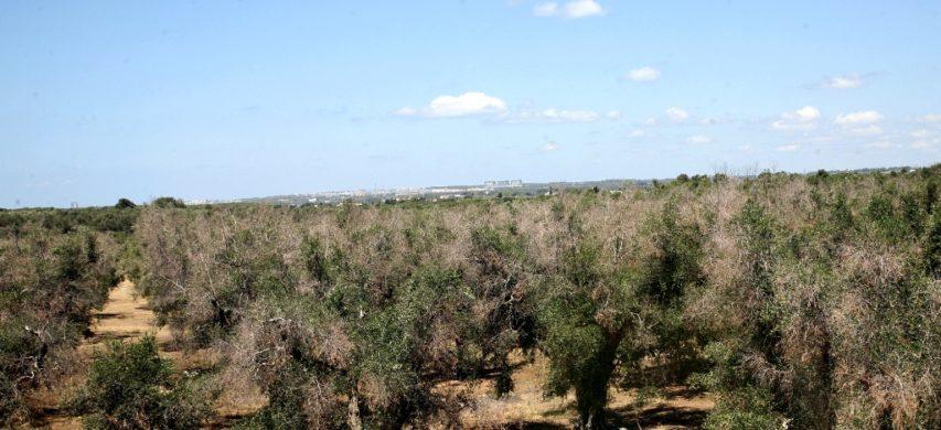 oliveto xylella