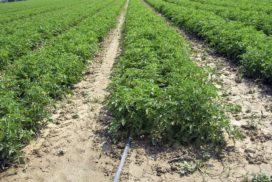 Pomodoro da industria fertirrigato