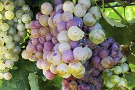 botrite vite su grappolo