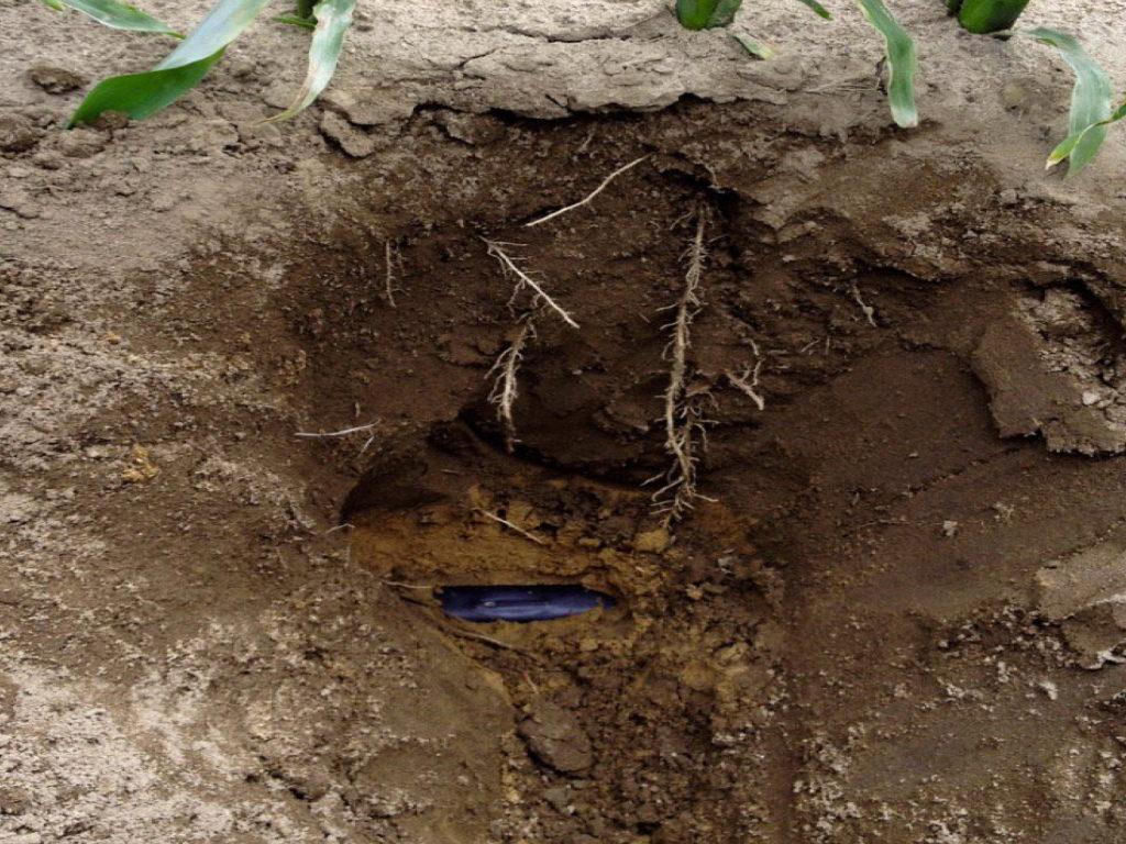 Dettaglio del sistema di irrigazione SDI (subirrigazione a goccia) su mais