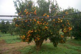 agrumi impianto irrigazione