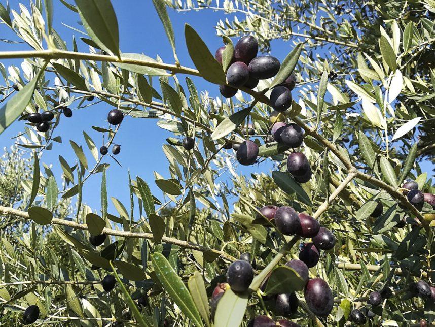 rami olive