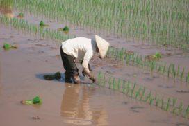 riso vietnam