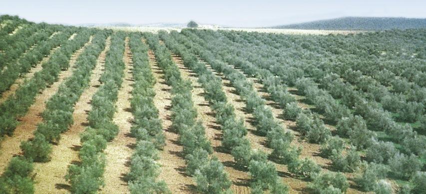 oliveti spagna