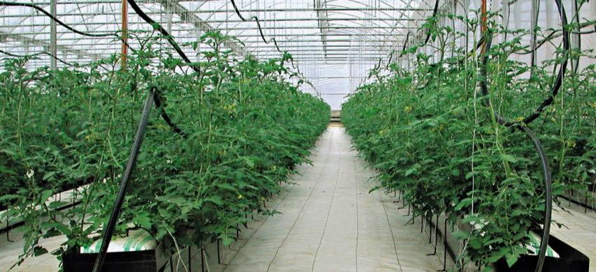 pomodoro serra