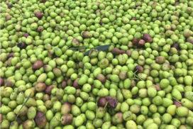 Olive appena raccolte presso l'az. agr. Carbone